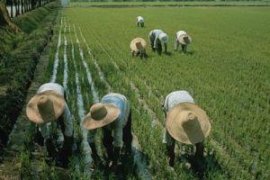 China, arroz