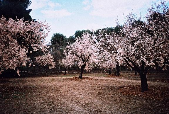 Almendros de la Quinta de los Molinos (Madrid).Lomografía de lola_juanlu