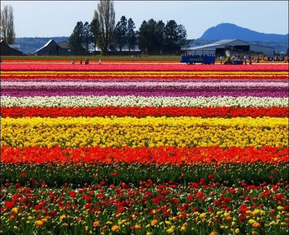 Campo de flores (Holanda)
